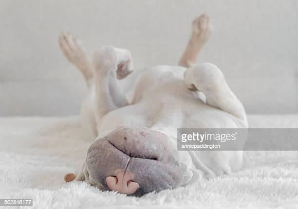 Puppy shar pei sleeping