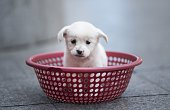 A puppy sits in a plastic strainer waiting to be sold by its owner in front of a subway station in downtown Shanghai on October 28 2015 The owner...