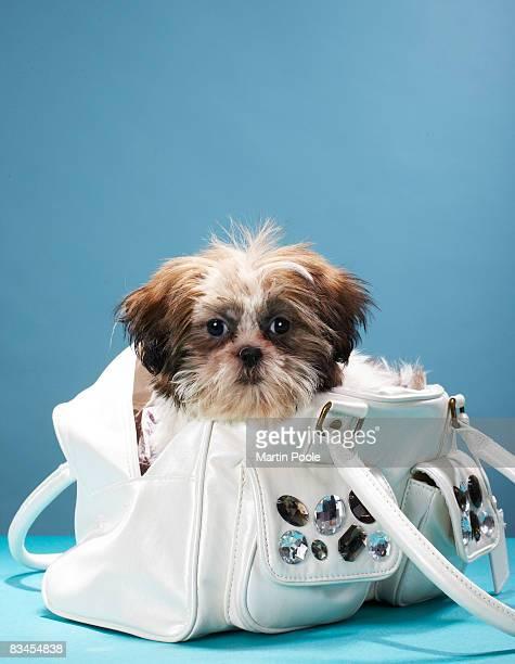 Puppy sitting in handbag