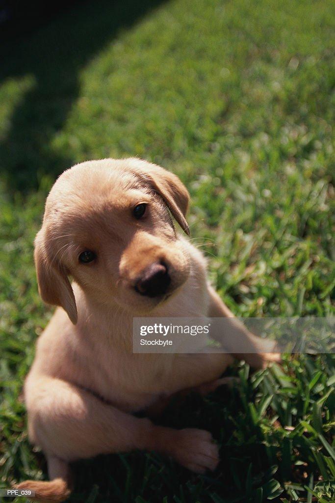 Puppy sitting on grass : Stock Photo