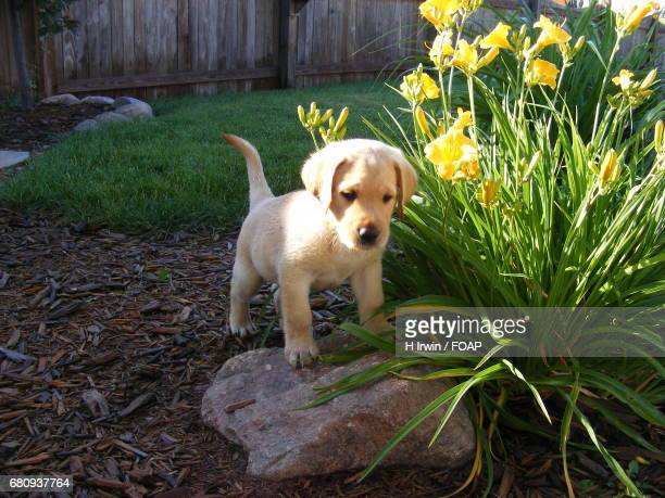 Puppy standing on a rock
