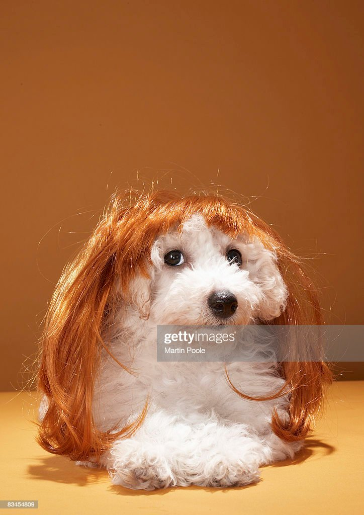 Puppy wearing ginger wig : Stock Photo