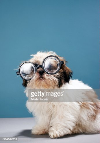 Puppy wearing thick glasses : Stock Photo