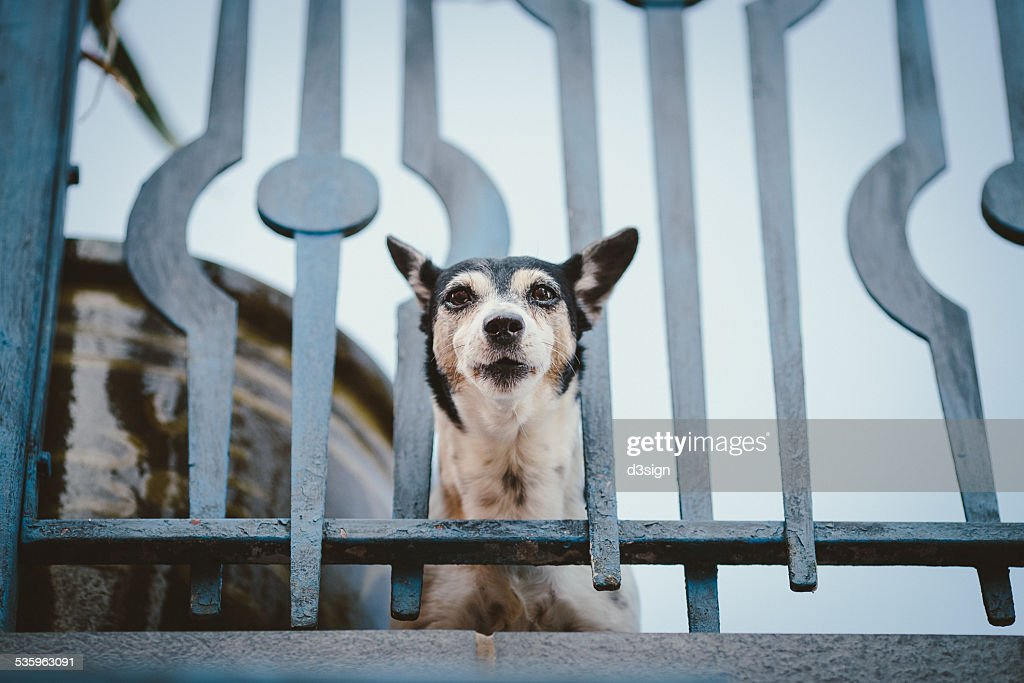 Puppy wedges his head through a balcony grille : Stock Photo