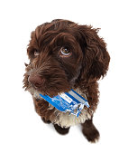 Puppy with chewed credit card