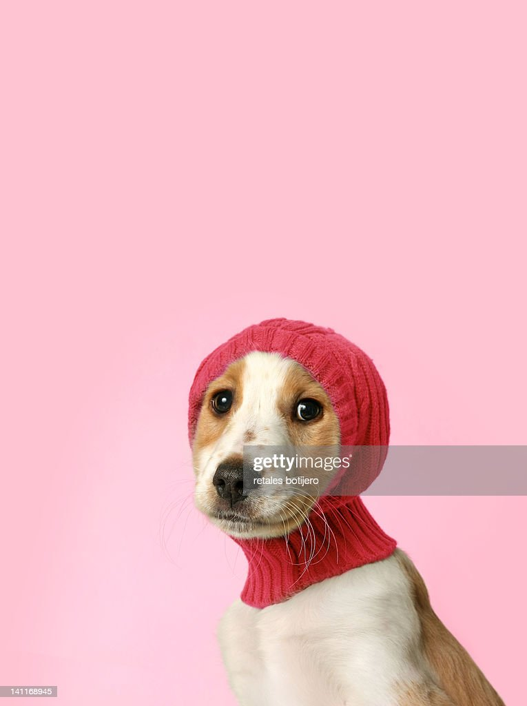 Puppy with hat : Stock Photo