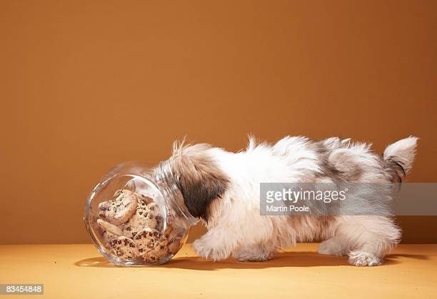 Puppy with head in cookie jar