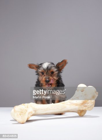 Puppy with oversized bone