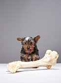 Puppy with oversized bone