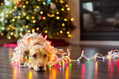 Labrador puppy looking up tangled up in Chirstmas lights.