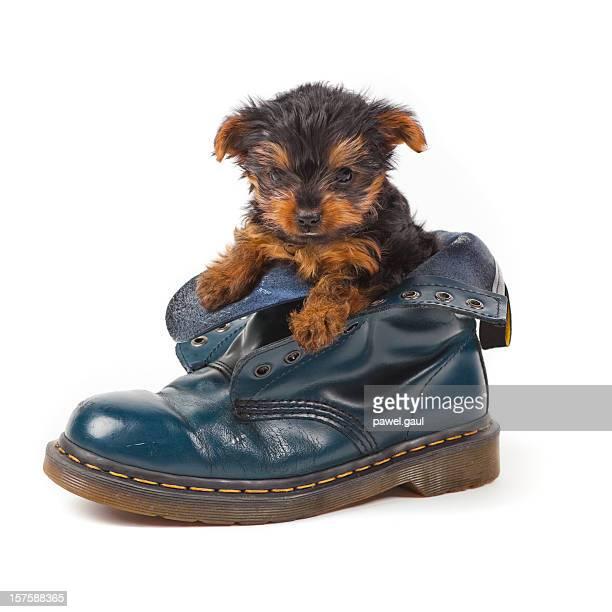 子犬のヨークシャーテリアラウンジの靴