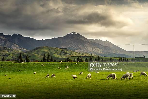 Pure nature sheep farmland