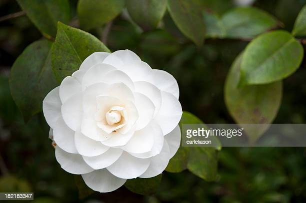 Camellia stock photos and pictures getty images - Camelia fotos ...
