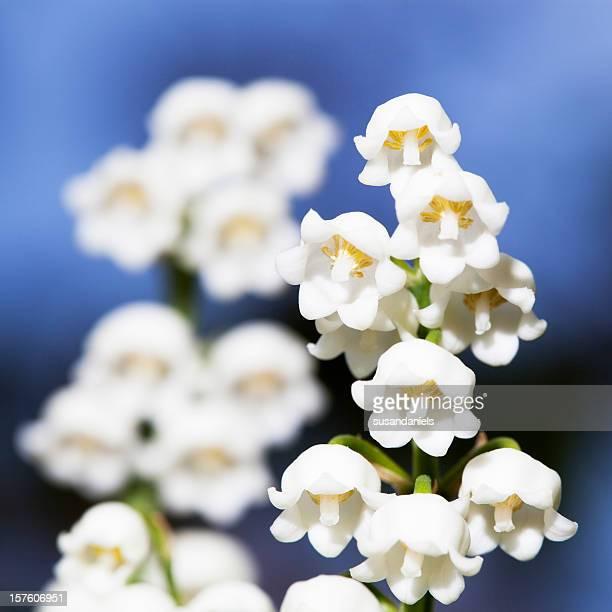 Lis blanc immaculé de la vallée des fleurs.