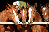 Group of nice thoroughbred fillies standing at the stable door