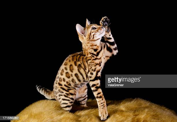 Purebred Bengal kitten reaching up with paw.