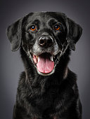 A close-up of a purebred Black Labrador Retriever dog looking directly at the camera.