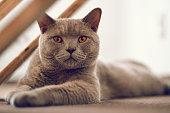 Purebred British Shorthair cat indoor portrait