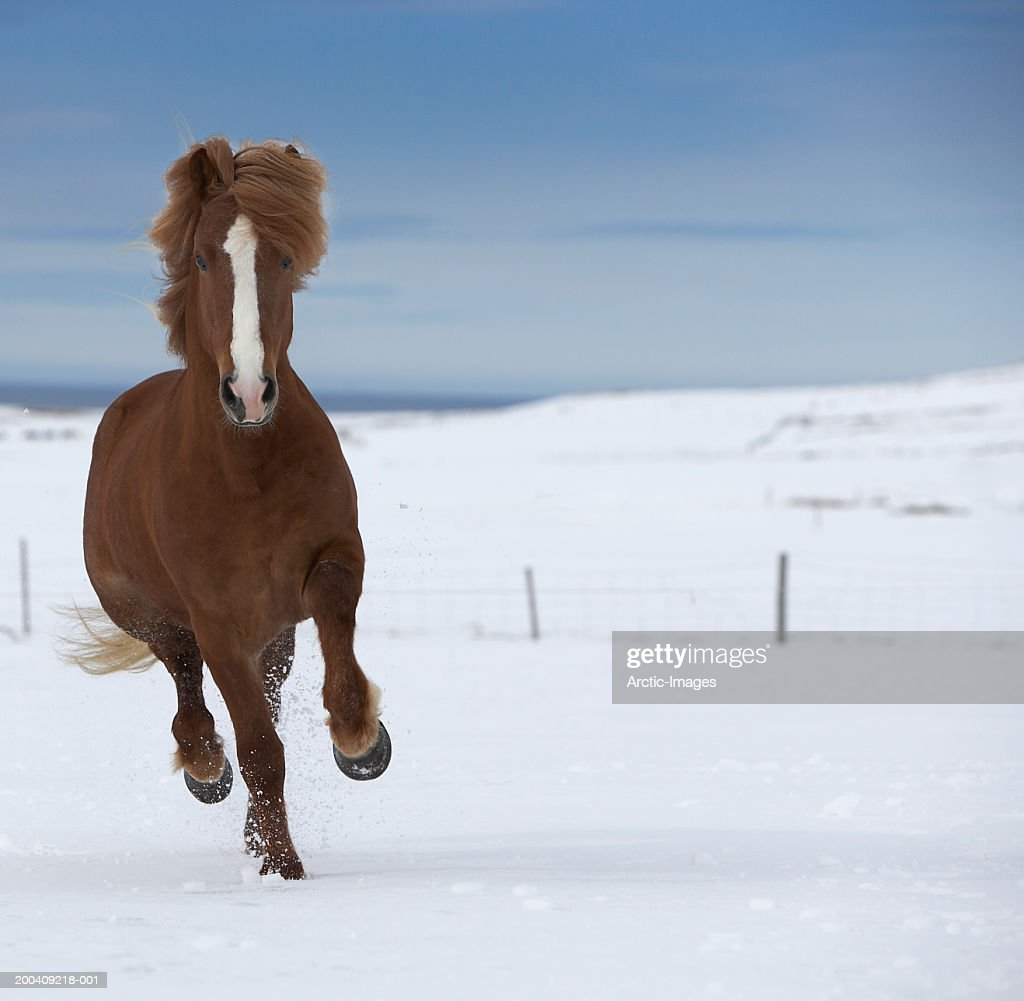 Purebred Icelandic stallion running in snow : Stock Photo