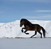 Purebred Icelandic stallion running in snow, side view