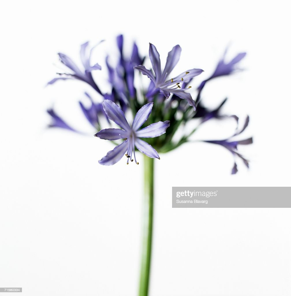 A purple African lily on a white background close-up.