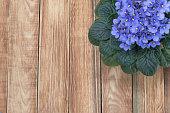 Purple African Violet (Saintpaulia) on Wooden Background, Top View Perspective