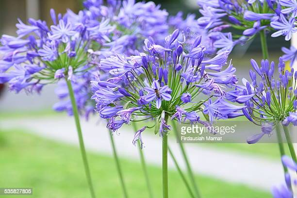 Purple Agapanthus in Full Bloom