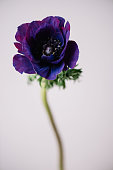 Purple and deep blue colored single anemone flower on the grey background, close up view