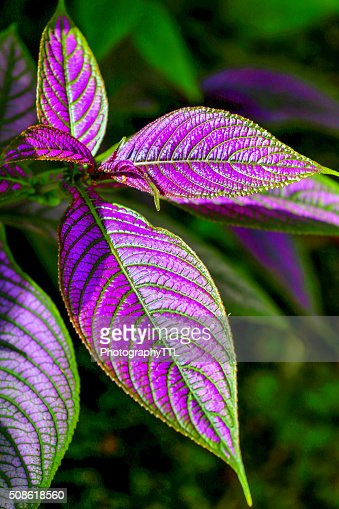 Purple and green tropical leaf in a jungle. : Stock Photo