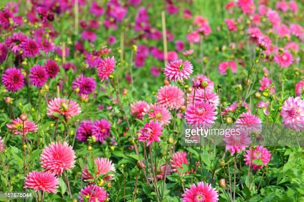 パープルとピンクの dahlia -Dahlien