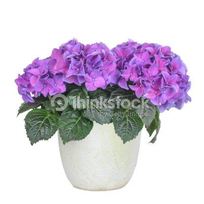 Purple and rose hydrangea, isolated : Stock Photo