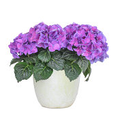 Isolated flower pot with hydrangea.