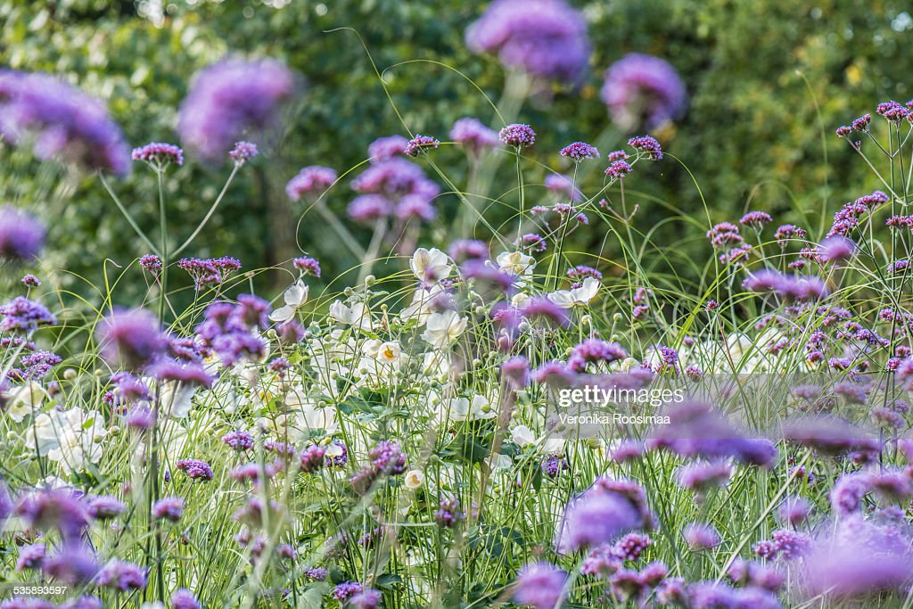 Purple and white flowers : Bildbanksbilder