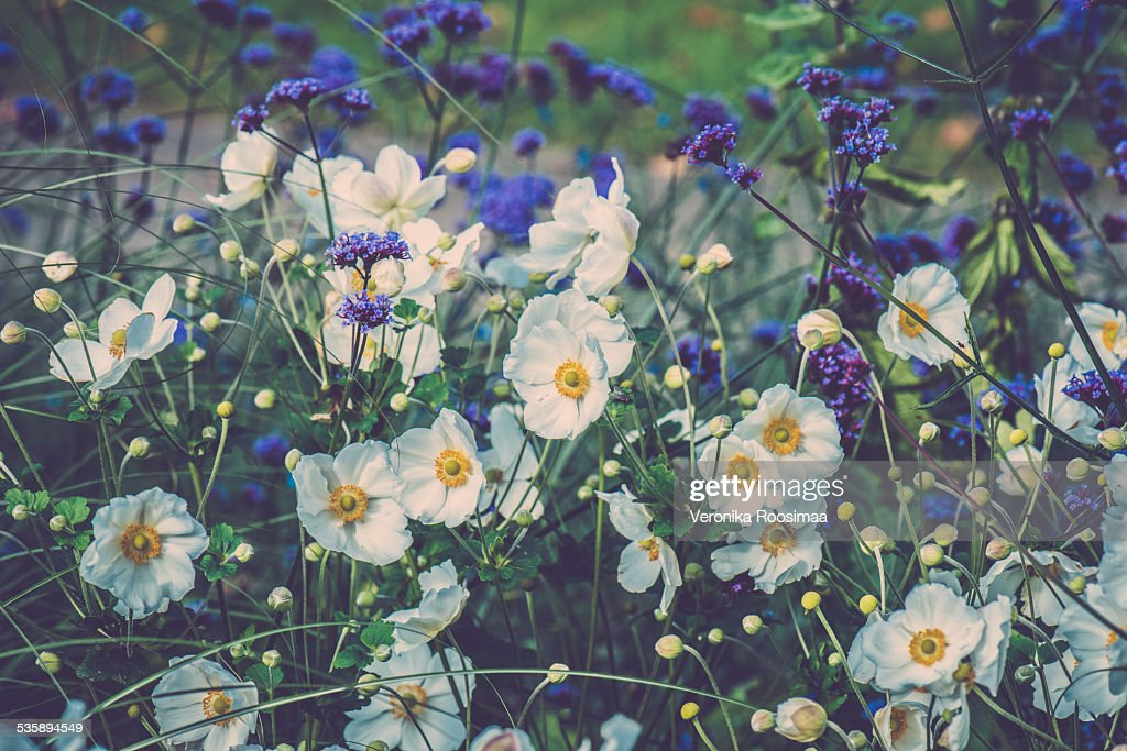 Purple and white flowers : Stock Photo