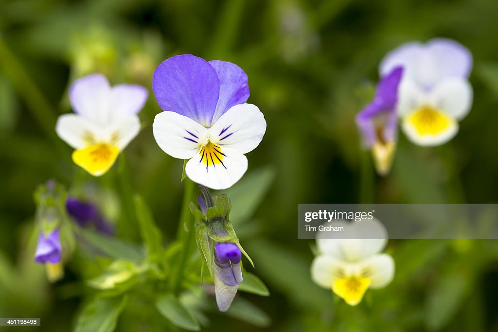 Purple and yellow Viola Violaceae edible flowers for salads in vegetable garden in Oxfordshire UK
