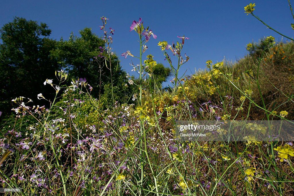 Purple and yellow wild mustard flowers bloom in Laguna Coast Wilderness Park part of a nearly 40000acre swath of Orange County open space that has...