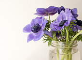 Close up of purple anemone flowers in glass jar (selective focus)