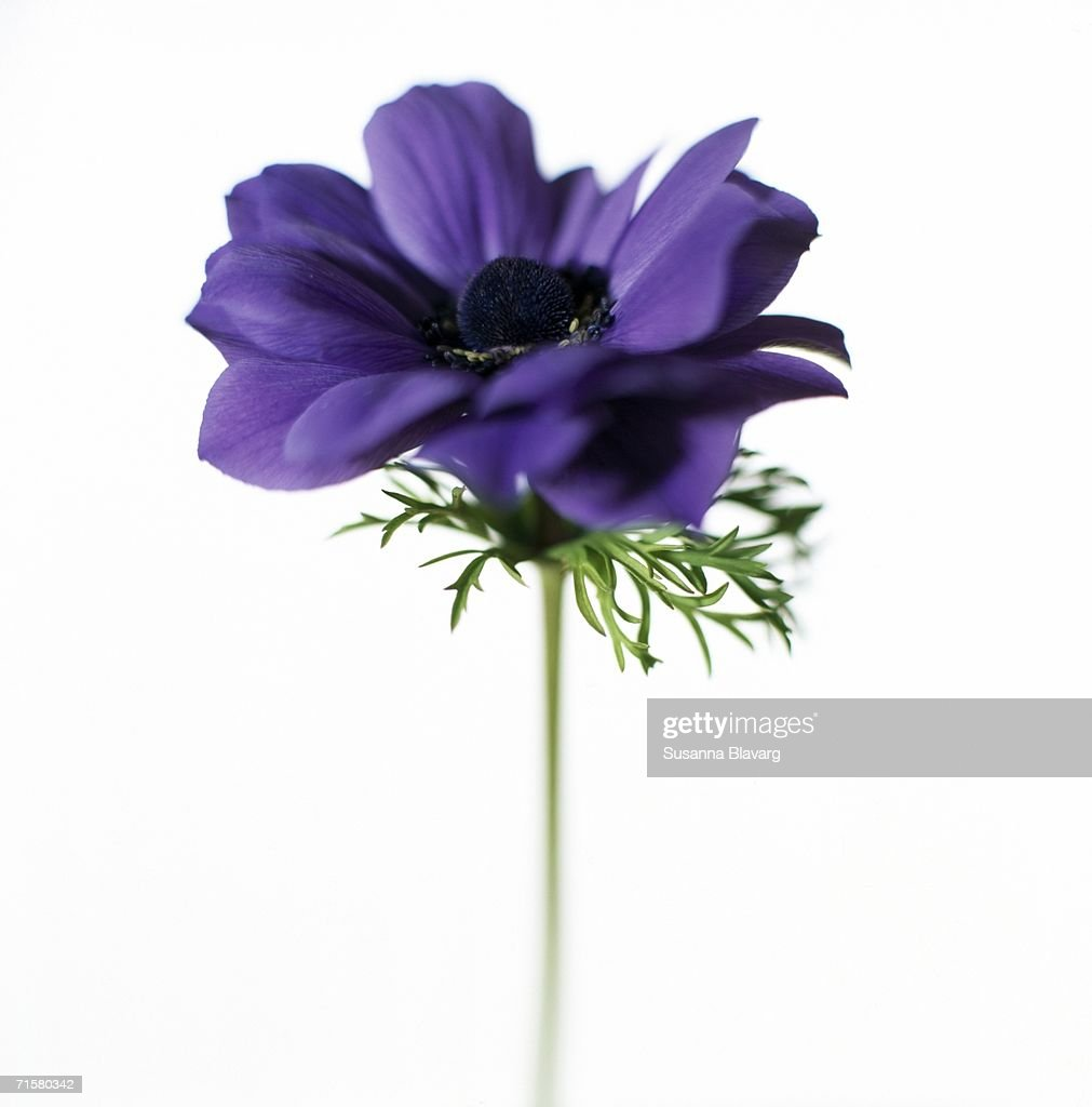 A purple anemone on a white background close-up. : Stock Photo