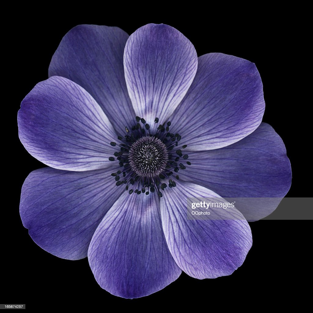 Purple anemone poppy isolated on black