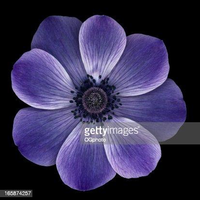 Purple anemone poppy isolated on black