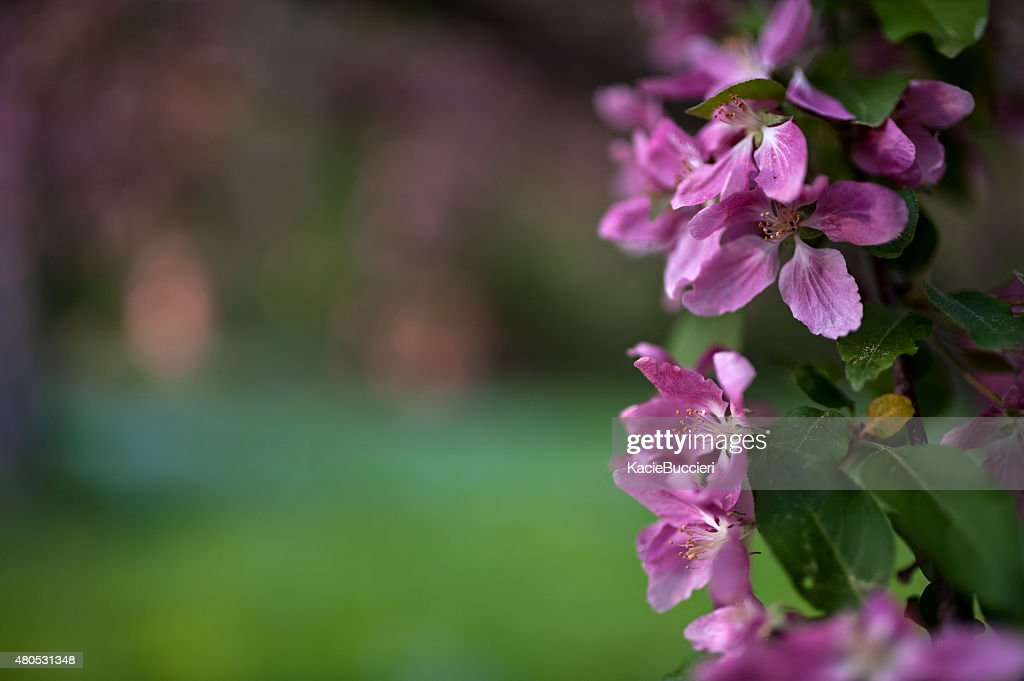 Purple Apple Blossom Blooming in Spring : Stock Photo