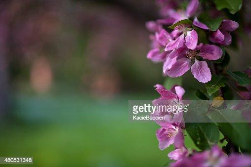Violet fleur de pommier fleurs au printemps : Photo