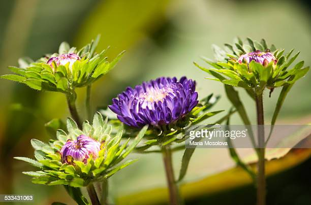 Purple Aster Flower Quartet