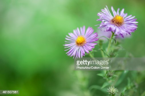 Purple asters : Stock Photo