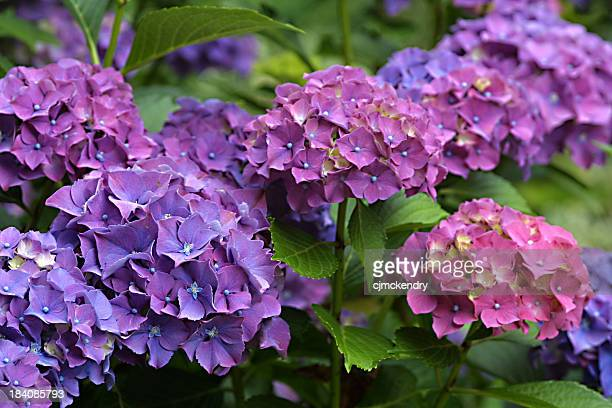 hydrangea stock photos and pictures  getty images, Beautiful flower