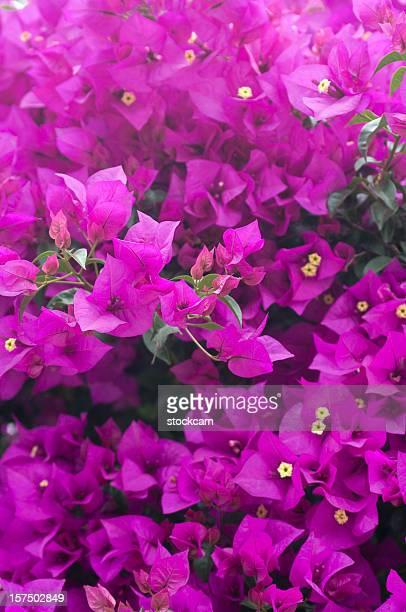 Viola fiori di bouganville