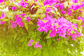 bougainvillea flower purple with green leaves beautiful in the garden. with copy space add text