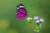Purple Butterfly on flowers