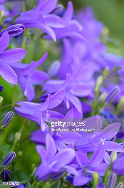 Purple Campanula portenschlagiana