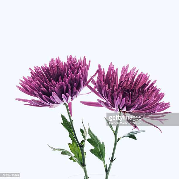 Purple Chrysanthemums On White Background